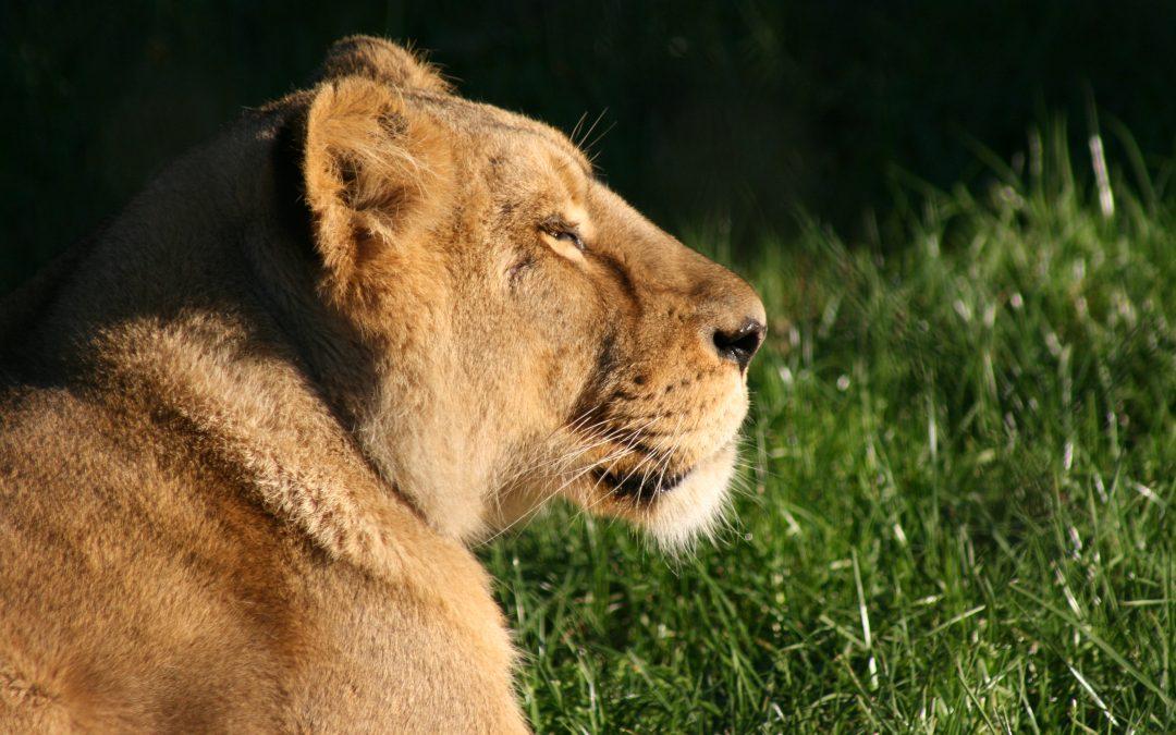 Una leona en Villegas