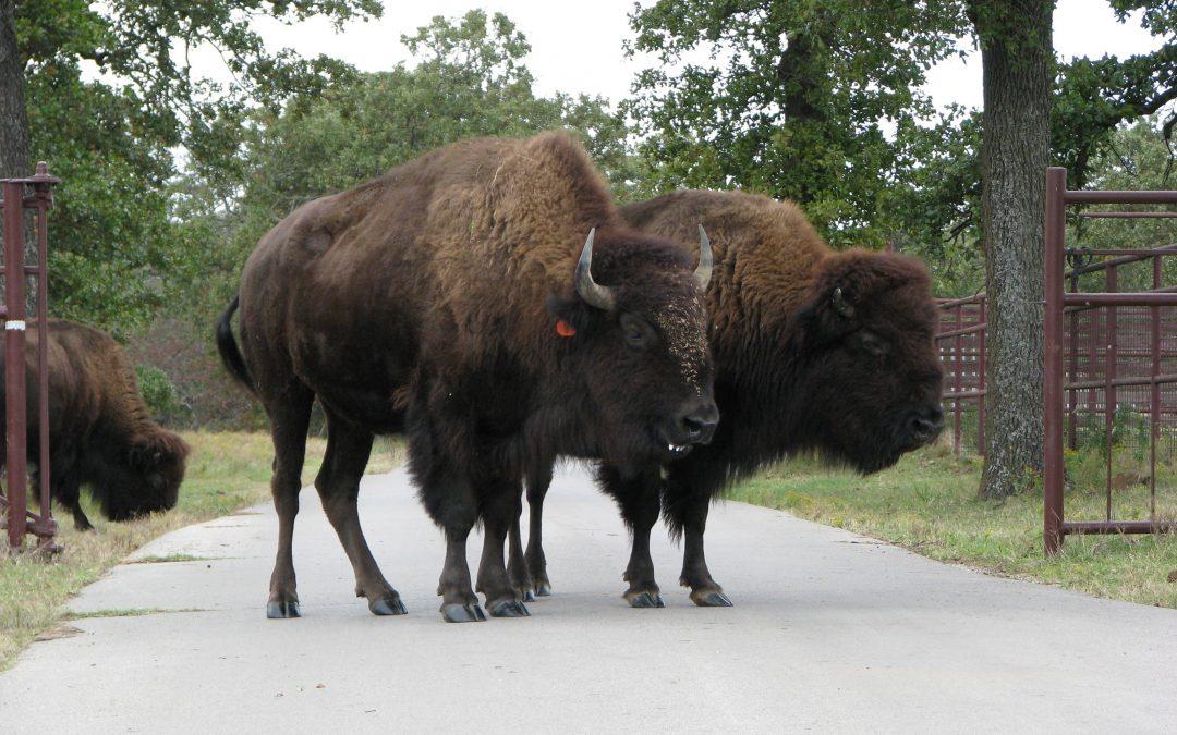 Entre Buffalo y bisontes