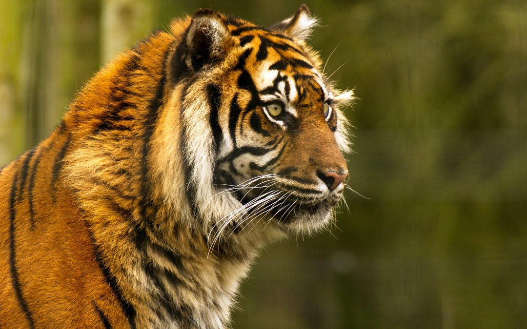 Una de tigres